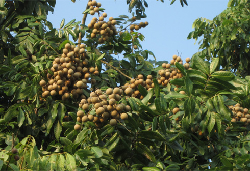 Giống cây nhãn muộn Hưng Yên