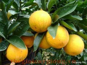 Giống cây cam V2