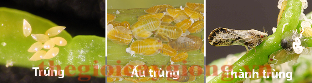 au trung ray chong canh