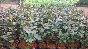 Giống cây ổi tím Malaisia