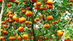Giống cây quýt chua