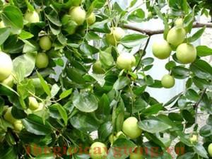Giống cây táo ngọt H12