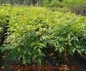 Kĩ thuật trồng cây Xoan Lát ( Lát Hoa)