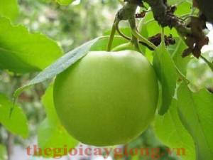 Giống cây táo đại