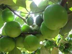 Giống cây táo Gia Lộc