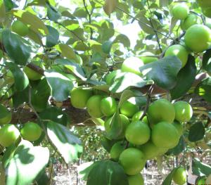 Giống cây táo Thái Lan
