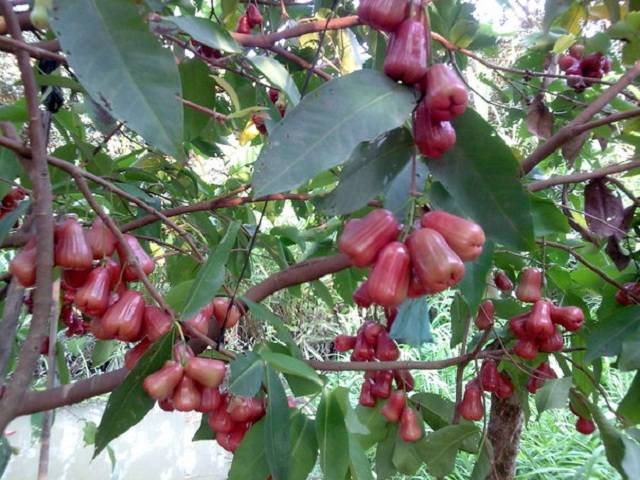 Giống cây roi đỏ Thái